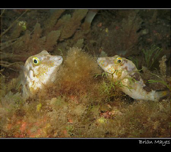A couple of sleeping Sharpnose Puffers sharing a bed for ... by Brian Mayes 
